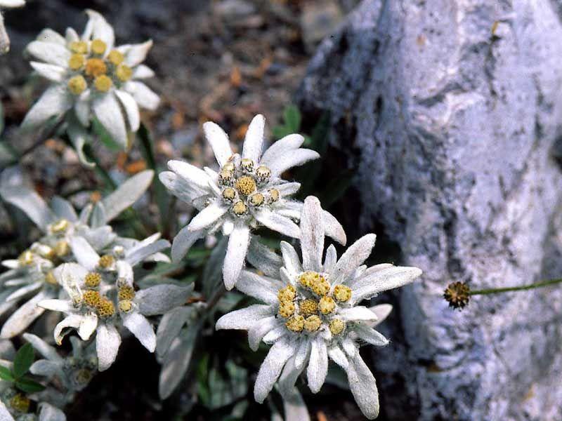 Шелковый цветок — Эдельвейс