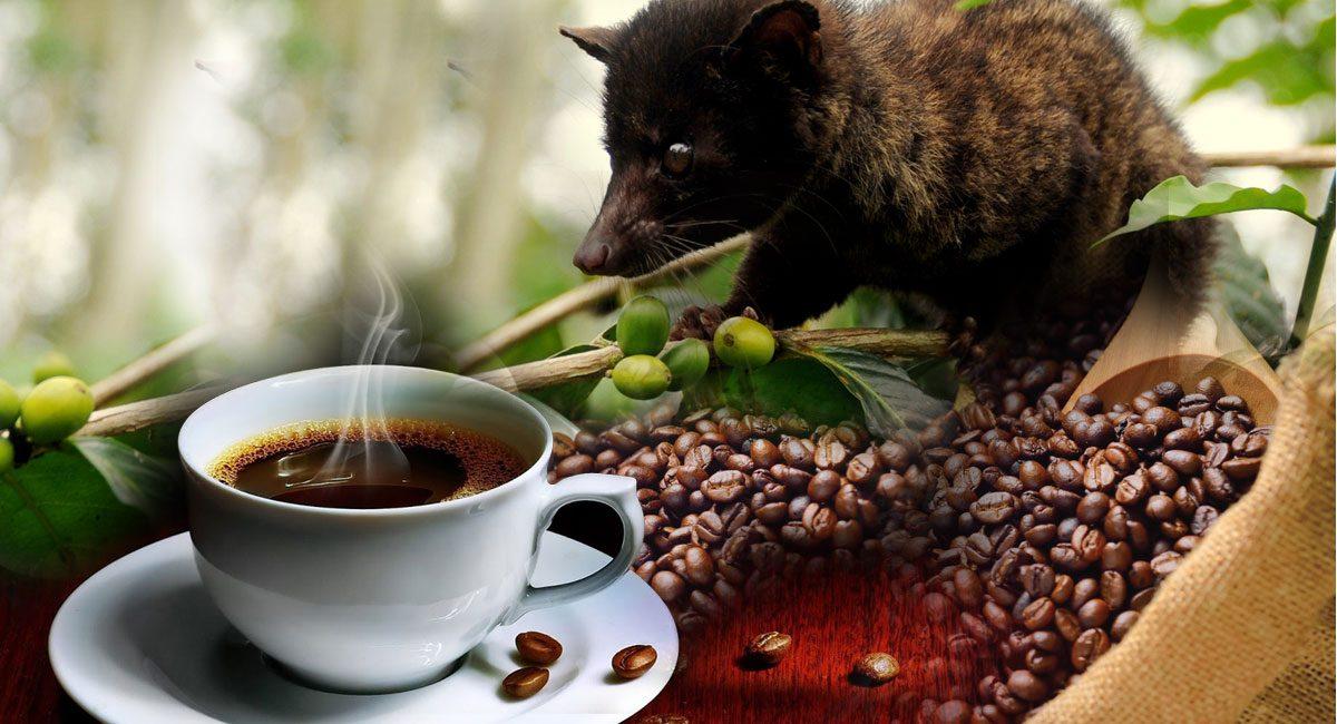 Кофе Luwak — самый дорогой кофе в мире