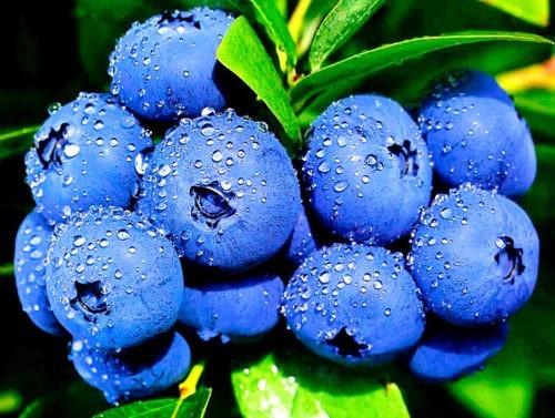 Голубика — полезные свойства и противопоказания