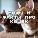 Мифы и факты про кошек