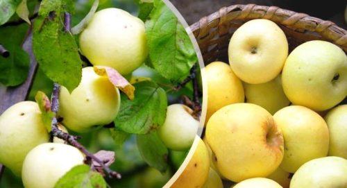 Потрясающие рецепты яблочного сидра