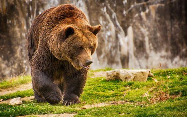 8 существующих видов медведей