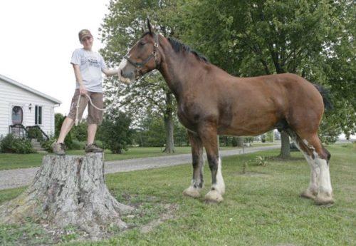 Самый высокий в мире конь