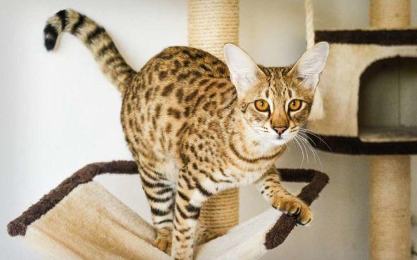 Ашера — самая большая и дорогая домашняя кошка