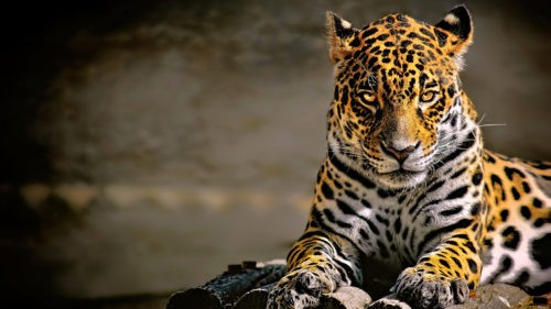 Интересное о ягуаре